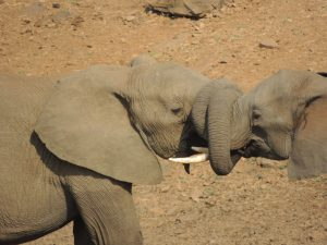 Elephants with trunks trapped together