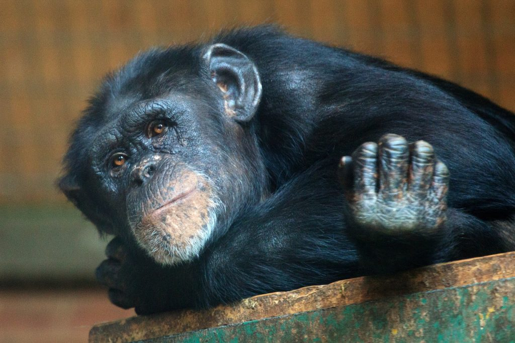 thoughtful looking chimpanzee