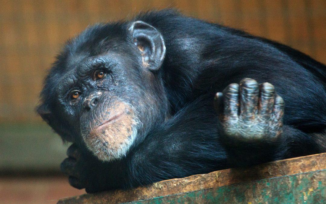 thoughtful looking chimpanzee